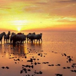 Des chevaux sur une plage de Camargue