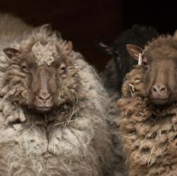 Le mouton shetland